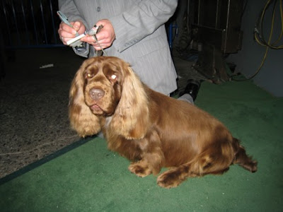 Sussex Spaniel Photos
