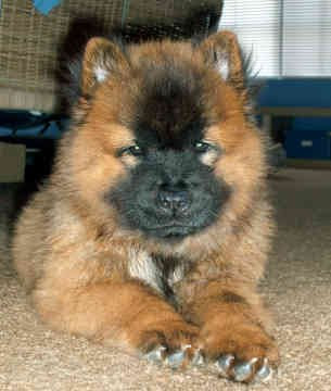 Free Chow Chow Picture