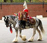 Household Cavalry Clydesdale Drumming Horse