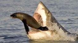 Great White Shark Attacking Seal (still from Planet Earth)
