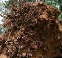 Stump of Fallen Tree in Ghana