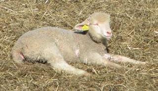 sunning lamb