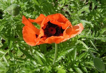 poppy and 2 pods