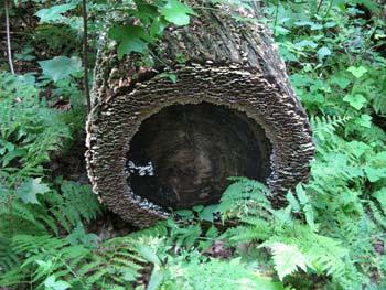 Lichen log