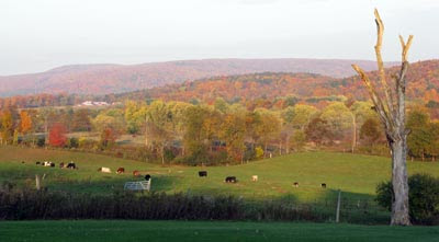 cows and autumn colors