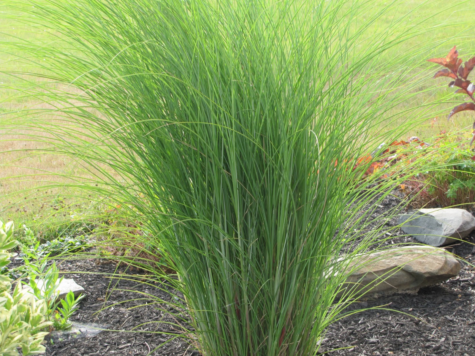 Cotton candy ornamental grass - Tall Ornamental Grass