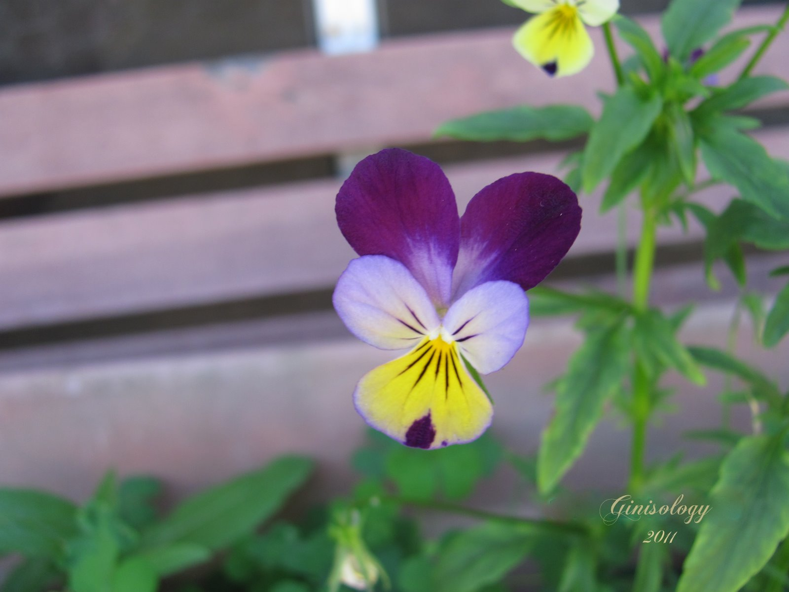 Our Life in s by Ginisology Viola s Johnny Jump up s or Pansies
