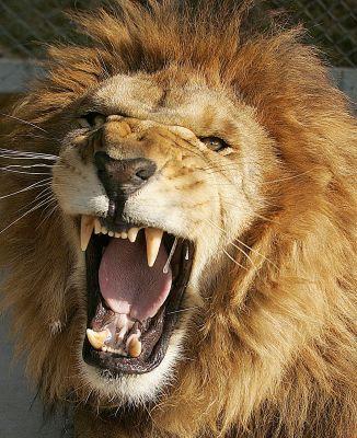http://2.bp.blogspot.com/_kLp4ANCsL30/R0LpvO1BZ8I/AAAAAAAAAE8/6Fh6MMQhPHQ/s400/lion.jpg