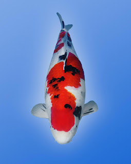Jemmy 39 s japanese koi fish grand champion 13th singapore for Champion koi fish