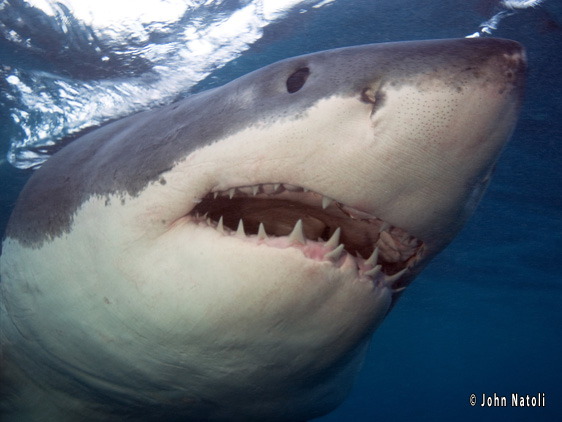 great white shark 007 And if you are a plus size gal, clothing sales can be found everywhere.