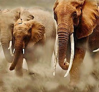 Sterminio elefanti: il governo della Tanzania vuole riaprire il mercato dell'avorio