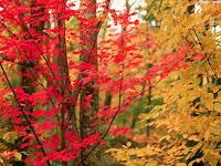 Ecco perchè le foglie d'autunno sono rosse