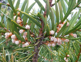 Pictures of Yew Flowers