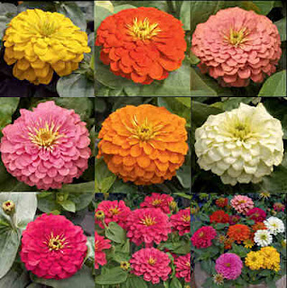 Zinnia Flower Pictures