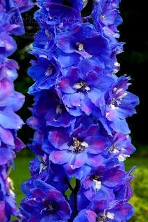 Exotic Blue Delphinium Flower