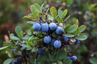 Photos of Blue Whortleberry