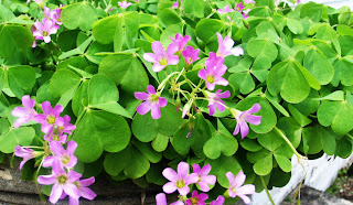 Wild Purple Wood Sorrel