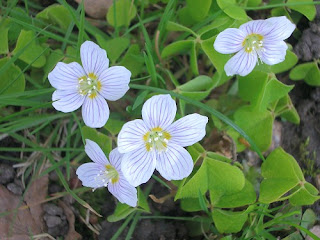 Exotic White Wood Sorrel