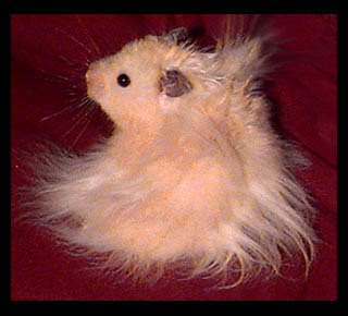 Long Haired Teddy Bear Hamster