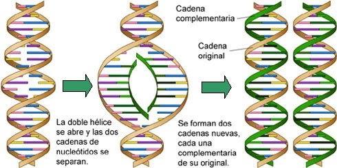 Biologia celular duplicaci n for Los nietos se separan