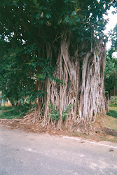 FICUS benjamina MUTILATED BY ILLITERATES