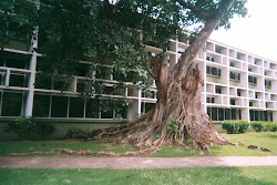 FICUS STAHL LEFT TO ROT BY TERMITES