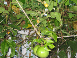 YELLOW FRUIT OF FOETIDA