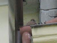 Baby Falke im Zoom