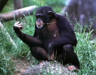 Chimpanzees - Physical Characteristics