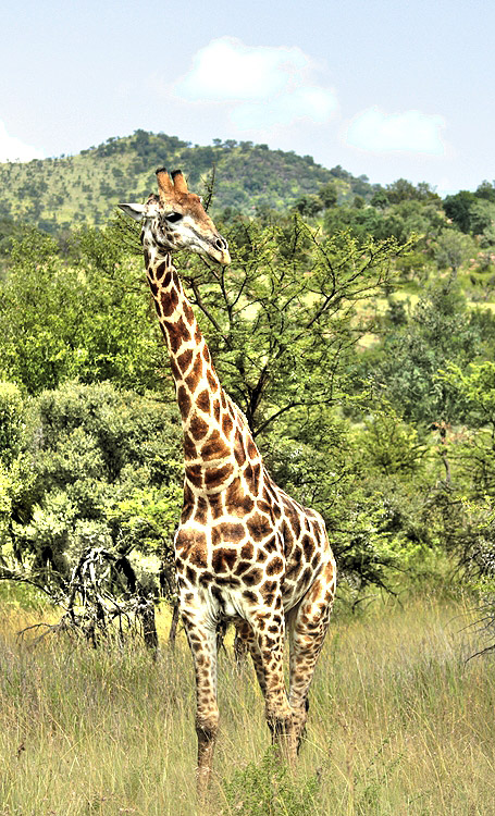 Afrika - Page 16 African+animals+pictures+giraffe+2