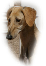 Zara - Saluki female born 2007