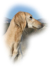 Knodden - Saluki male born 2004