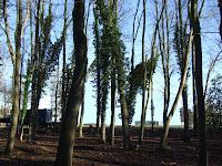 Pinewoods blue backdrop