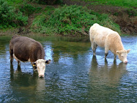 Cows lapping up the Ouse