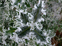 Frosted Holly