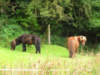 Shetland ponies on walk