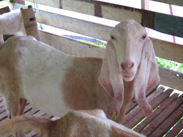kambing yang ada di kandang kambing milik Encik Zainal