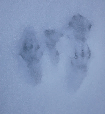 Grey Squirrel footprints