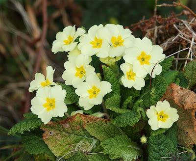 Primroses Primula vulgaris