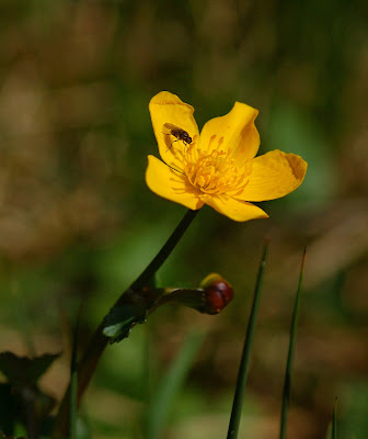 Marsh Marigold (Caltha palustris