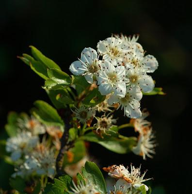 hawthorn (Crataegus monogyna)