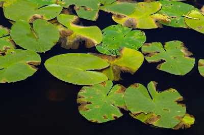 Yellow Water Lily (Nuphar lutea)