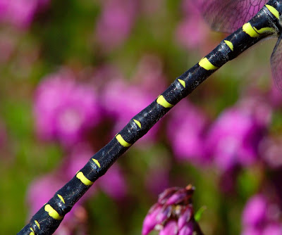 Gold-ringed Dragonfly (Cordulegaster boltonii) male