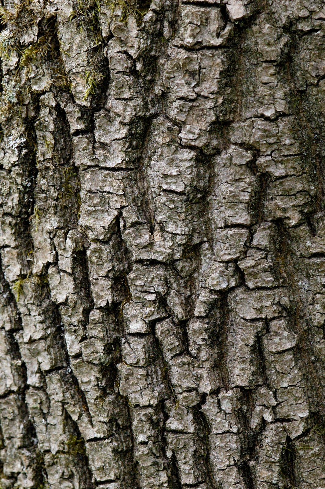 Ash Wood Bark ~ Scottish wildlife kilpatrick hills west dunbartonshire