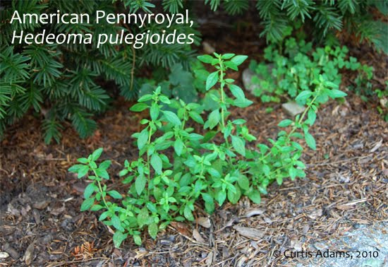 Native Plants with Adams Garden American Pennyroyal Another