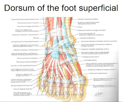 muscles of the foot and ankle | podiatry, Cephalic vein