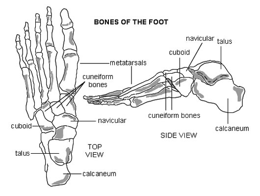human skeleton drawing. human skeleton diagram