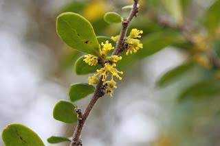 Azara microphylla flower