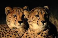 C-animal-Cheetah, C for Cheetah images