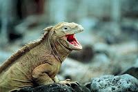 I-animal-Iguana, i for Iguana images